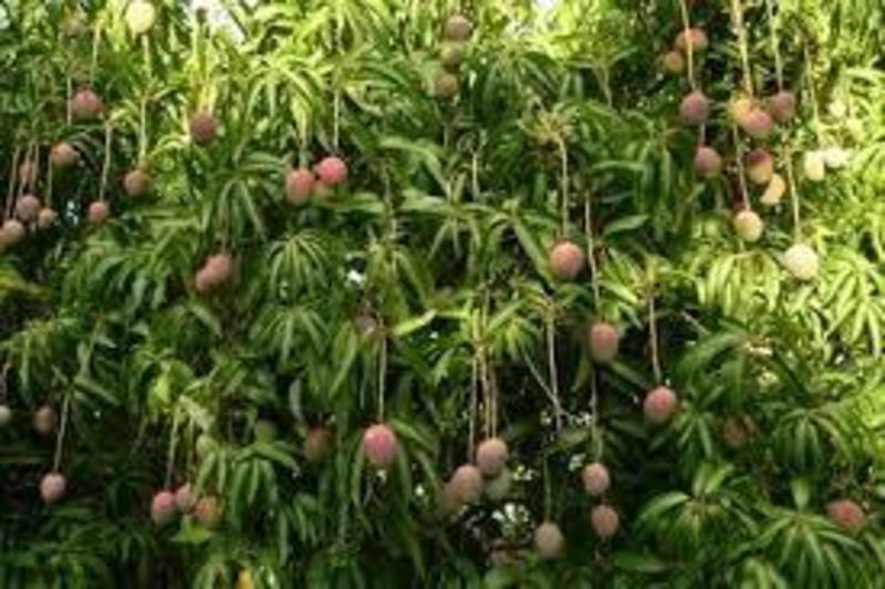 essay on my favourite mango tree